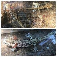 サンショウウオの種類 佐賀県の山でサンショウウオの幼体を発見しました。 種類が分かる方、ご教示ください。