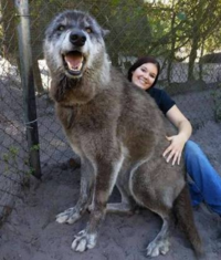 ウルフドッグって特定動物ですか? 犬の血が1%でも入っていれば特定動物ではないと思ってました。