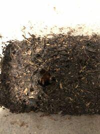 カブトムシの蛹が土から出てしまってます。 土をかけるべきでしょうか。  多分、土の量が少ないのだと思うのですが ツノになる部分が上にあるために動いて 穴を開けてしまったようです。  同じような質問があるのかも知れませんが、 土をかける派とかけない派の回答があり どうしたらいいのかがわかりません。  よろしくお願いします。