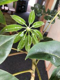 観葉植物にカビのようなものが… 職場にある観葉植物で名前は分からないのですが今日水をあげる際に白カビのようなものが葉っぱについていることに気が付きました。  やはりこれはカビですか?  対処法などあれば教えてください。