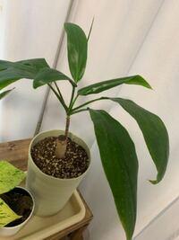 観葉植物をホームセンターで購入したのですが、名前が書いてなく調べてもわかりません。 どなたか詳しい方教えてくださいませ。