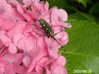 カミキリ虫の名前を教えてください、 岐阜県美濃加茂市飛騨川で 撮影20200628