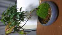 もみじのミニ盆栽です。 写真のように針金の食い込みが見られます。 みなさんはこのあとどのように手入れしていくのでしょうか?  初心者であまりわかっていません。 よろしくお願いいたします。