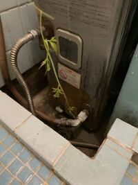 植物について質問です。 ある日、家のお風呂の排水溝から草が生えてました。  これはなんて植物ですか??