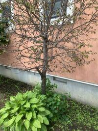 りんごの木が枯れてるんですけど原因と対処法を教えてください! 下だけ新しい枝が生えてきて元気なんですけどなんでしょう?