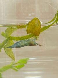 この青いエビの名前わかる方いらっしゃいますか? サイズは1.5cm程で水路で発見しました。  #エビ #生物