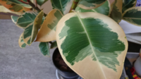 ゴムの木です。 いくつかの葉っぱが、このように緑の部分が少ないのですが、これは枯れてしまっているのでしょうか?