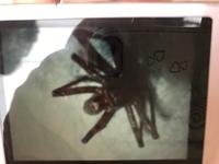 蜘蛛にお詳しい方よろしくお願いいたします。 実家に出た蜘蛛で気持ち悪く母が写真を撮りました。 見にくいですが、全体的に赤色だったそうです。。気持ち悪く、何の蜘蛛か知りたいです。調べ てもわからなくて...
