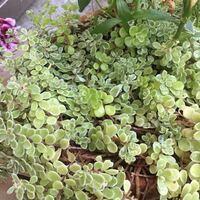 写真の植物がなんて名前のものかわかる方教えてください。 庭の植木鉢で育っているものなのですがなんて言う植物だったか思い出せません……