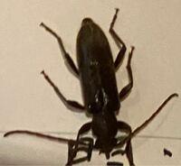 画質悪くて申し訳ないんですけど、この昆虫の名前を教えてください。ホソカミキリかなぁって思ったんですけど触覚短いし、違うのかなぁって、 夜中自分が寝ているとブーンって音がして電気をつけて探してみるとこ...
