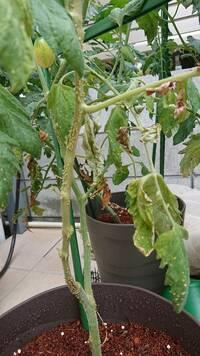 トマトの家庭菜園をしてるのですが、茎にトゲトゲが出来ました。 これは病気なのでしょうか??