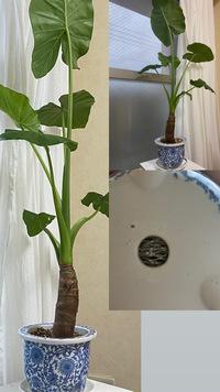 クワズイモの植え替え  六月下旬にクワズイモを購入して、自分で買った鉢に植え替えました。 しかし最近成長が早く、思ったより背が高くなってきました。 高さと鉢の大きさが合ってないよう な気がするのです...