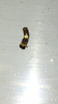 アゲハチョウ幼虫 卵から育ててる幼虫のうち一匹だけが、体はアゲハチョウの幼虫で、頭が違います。動きも俊敏です。他の虫に寄生されてますか?