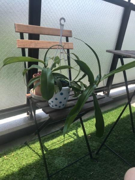 ベランダで育てているネペンテスが全く袋をつけてくれず、茎や葉っぱばかりが伸びて成長しています。 葉っぱの先からツルが伸びて、そのツルの先が袋になりそうな変化は見られるのですが、そのまま成長することもなく袋は枯れていきます。 土の条件は園芸店で購入した当時のままで、特に肥料を与えたり植え替えたりもしていません。 成長し過ぎると袋を付けにくいという記事も読んだのですが、一度切って挿し木にしないと袋はもう付けてくれないのでしょうか、、、?