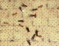 蟻の駆除について教えてください。 写真のように、小さい茶色い蟻と羽のついた黒い蟻が 密集して家の中に出てきます。 アリの巣コロリを置いても効かないようなので、スプレーで 駆除しましたが、今度は違う場所に出てきました。 スプレーでは、一時しのぎの駆除しかできないのでしょうか? 良い駆除方法があれば教えてください。 こちらは、北海道オホーツク管内です。