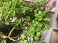 我が家の植物が、こんな状態になってしまいました。 回復方法はありますか?  よろしくお願いします。