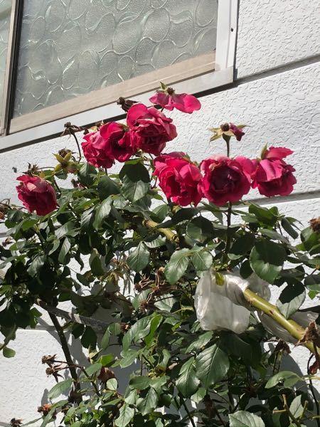 この薔薇の種類が知りたいです。 色は赤のような濃いピンクで写真より艶やかでした。 この写真もほとんど枯れかけです。 調べてみたのですが品種がわかりませんでした。 もしかしたらで結構です、教えてく...