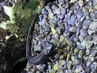 シリケンイモリ,立体感,白い斑点,水圧,尻尾