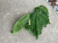 きゅうりの葉がこの一枚だけ枯れていて見てみると芋虫がいました。 ①この虫はなんとゆう名前ですか? ②害虫ですか?益虫ですか? 分かる方教えてください。 「情報」 きゅうりに昨日化学薬剤を使いました。病気&a...
