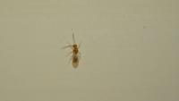 この写真の虫はシロアリでしょうか? 調べても確証が持てなかったので、詳しい方教えてください。  ちなみに、お風呂場に単体で出てきます。 基礎はベタ基礎、お風呂場はユニットバスです。