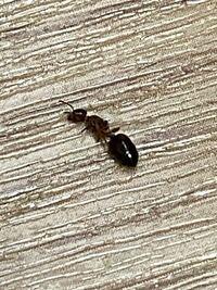 このアリの種類を教えてください。ちなみに羽のようなものが生えています。