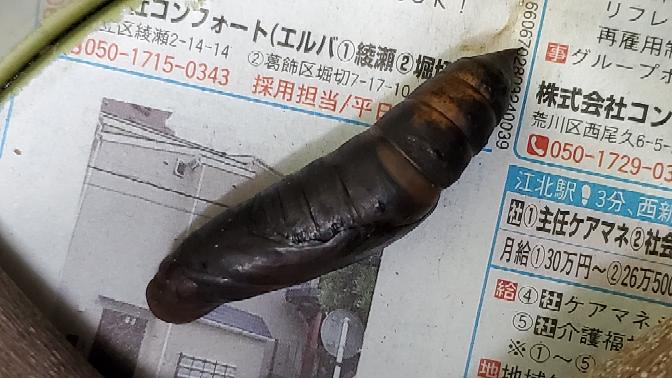 お久しぶりです。 セスジスズメについてです。 この前1匹目は4匹も寄生されてダメで 2匹目はサナギに1週間くらい経ったのかな? 朝見たらサナギには傷や 穴があいていないのですが あの寄生されていた時と同じ サナギがありました( ´• ω• `) セスジスズメは死んでしまったのでしょうか?