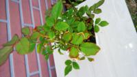 バラの葉っぱが少し枯れているように思います。画像を見てもらえばわかりますが、先のほうが赤茶色になってます。 水のやりすぎや肥料のやりすぎ、虫食い、病気、その他手入れの方法を知りたいです。 鉢植え(タバ...