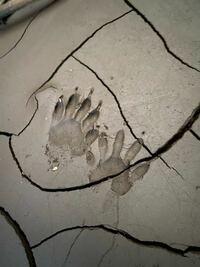 この動物の足跡は何の動物の足跡でしょうか? 庭の土の上に点々とあったので気になりました。  自分はアライグマかなとは思うのですが、違うかな?