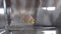 可愛い金魚を購入したのですが、ショートテール オランダに見えます。 購入した場所では、だるま琉金と書かれていたのですが、どうなのでしょうか?