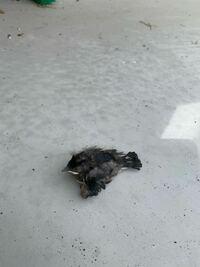 燕の雛について この雛が落ちてきたのですが、巣に戻すべきか、置いとくべきかどちらでしょうか? 飛ぶ練習で落ちたのか 何らかの原因で落ちたのか… 元々巣にへばりついていてそこからポトンと落ちました。