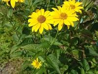 この黄色い花の名前を教えてください。 キク科と思われる、花弁の多い、黄色い花です。ルドベキアの仲間でしょうか。 草丈は、1mか、それ以上になりそうな感じで、葉は、披針系でしょうか。 大きくはないです。 写真をつけておきます。よろしくお願いします。