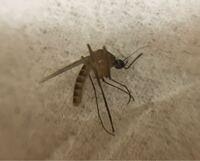 【虫の写真 閲覧注意】 最近この虫が部屋でよく出没するのですが、なんの虫でしょうか?