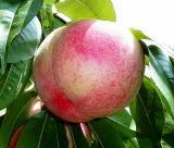 果物 桃の熟れ具合を見る方法を教えてください。  スーパーで買ってきたばかりの桃は やや硬めも熟れていない桃ですね。 食べて美味しくて皮がむけるような完熟桃が食べごろですが、 皮がむけないような硬い桃が 熟れているかどうか調べる方法を教えてください。  甘い匂いが出るまで熟れさせる、 色が乳白色になるまで待つ 少し触って柔らかい感触になるまで待つ、 というような方法を教え...
