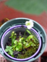 ハエを食べる食虫植物ハエトリグサ?がハエを食べ過ぎて黒くなって 大体枯れてしまった後に残っていた葉っぱところから ひょろりと枝が伸びて花が咲きました。 食虫植物の花ですか?