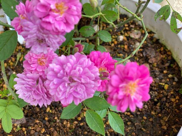 バラの花色について質問です。 同じ枝から薔薇がたくさん咲きましたが、色が濃いものと初めから色褪せているような薔薇があります。 色あせる原因は土にありますか? また色鮮やかにする方法がありました...