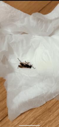 最近この虫がトイレや、自室にいつのまにかいます。換気は基本網戸なのでどこから入ってきているかは不明です。羽黒アリかなと思うのですが何の虫か分かる方はいますか?
