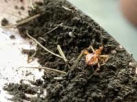 体長約8ミリの赤い虫の名前を教えてください。7/19午前中、庭の手入れをしている時に見付けました。3年前の8月に初めて見付けて写真を撮り、自分なりにスマホの検索やアプリなどで調べたのですが判らずそのまま...