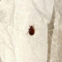 トコジラミ(南京虫)についての質問です。 ベッドで見つけたこの虫、トコジラミで間違いないと思うのですが、オスかメスかわかりますか?  メスなら卵を産んでいるのでは…と心配です。
