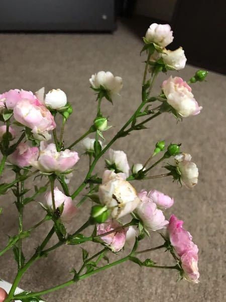 バラに詳しい方に質問です。 ツルバラを頂いて育てて来ましたが キングローズを2株頂いて来たと思い育てて来たのですが、去年は全部がピンク色の花を咲かせていましたが 今年は 株立ちは両方同じですが、...