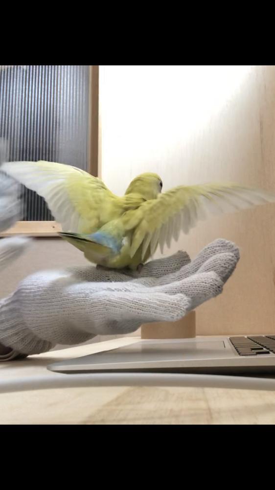 3ヶ月のコザクラです。 この行動について教えてほしいです。 最初は私がパソコンの画面を見ているときに一人で羽をパーっと広げてきました。 さっき軍手で遊ばせながら(軍手でトンネル作っ て入ったり手のひらから降りたりのったりが好き)この行動をしたので両羽を軽くタップしたらまた羽を広げてきました。 噛んでくる様子はないのですが怒っていますか? 普段怒る時例えば、パソコンのキーボードを取りたがるので怒ると噛んできますがそれがなかったので不思議に思っています