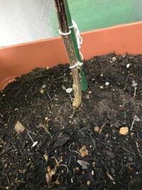 ナスの根本から謎のきのこ?のような植物がたくさん生えてきたのですが、この植物の名前は何ですか? このまま放っておいても大丈夫ですか?