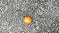 ミニトマトの実が突然腐ったように、ぶよぶよになってきました。 どれも、実の横あたりなので尻腐れ病ではないような気がしますか、何かの病気でしょうか? どんどん増えていくのか心配です。