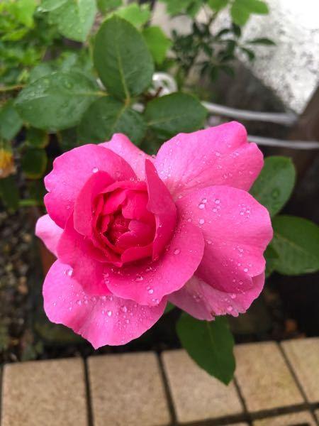 庭で咲いた花。 これって薔薇?? 植えた覚えないんだけど…………。 教えて下さい……。