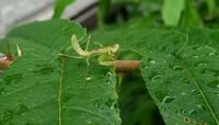 カマキリの生態について教えて下さい。  1週間ほど前、神奈川県某所でカマキリの幼虫を見かけました。 画像はその写真ですが、まだごく幼い時期だと思います。 子供の頃、8月にはカマキリの成虫を見たと記憶し...