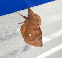 蛾の種類  写真の蛾について 種類が分かる方、ご教示ください。  本日福岡県で撮影したものです。 タケカレハに似ていると思うのですが、いかがでしょうか。