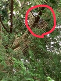 家の近くの林にいたのですが、この鳥の名前分かる方いませんか? 画像、見にくいんですが…。。 全体的に灰色と白が混ざったような色をしていて、小尾だけ鮮やかな青色でした! 違っててもい いので、お願いますっ
