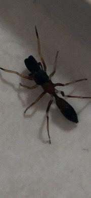 蜘蛛みたいですが、種類がわかる方教えてください。 体長は1センチ位です。