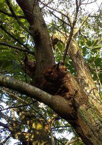40年以上の栗の大木ですが、木全体の葉っぱが黄緑色になっています。 よく見ると、ほぼ全部の栗のイガの上の方が茶色になっています。 病気でしょうか? 虫が原因でしょうか? 幹の下の方には。10㎝ほどのおがくずが固まっているようなものがあります。(写真) 固まりをばらしましたが虫はいないようです。 テッポウムシかもしれないと教えてもらいましたが、いないようです。
