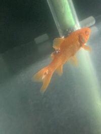 金魚のこれは病気ですか?画質荒くてすみません。 詳しい方教えてください。