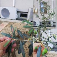 オリーブの木について教えて下さい! 1週間ほど前にオリーブの木を庭木として植えました。花屋さんに言われた通り、毎朝水をくれています。今日朝、土も乾いていたので水をくれようとしたら葉っぱの真ん中が茶色になってる茎を見つけました。茶色になってるのはその茎に付いてる葉だけです。それと、小さな蕾も茶色に変色してしまいました。上部の方は元気そうなんですが、何が 原因でしょうか?根腐れではないかと心配し...